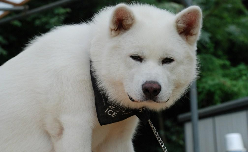 Japanese Dog Breeds Akita