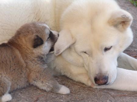 Japanese Dog Breeds Large