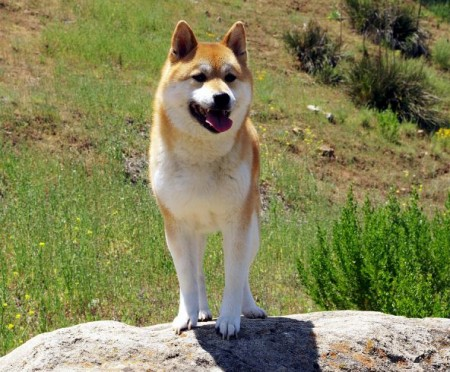 Japanese Dog Breeds List