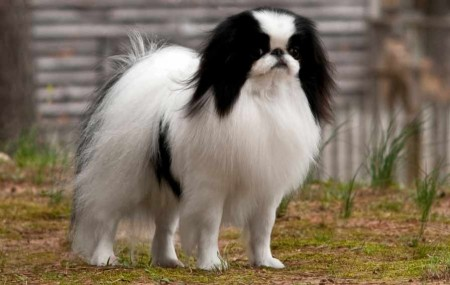 Japanese Dog Breeds Small