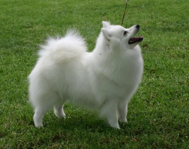 Japanese Dog Breeds Spitz