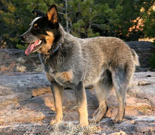 Large Breed Dogs List With Pictures