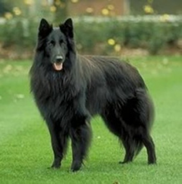 Large Breed Dogs List