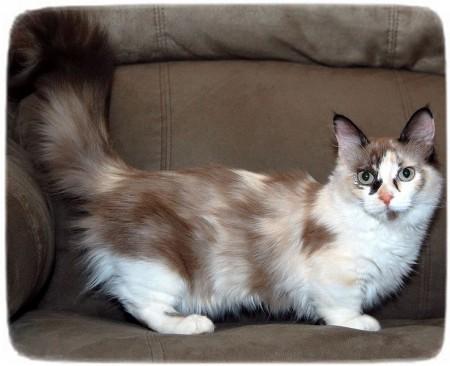 Large Cat Breeds List