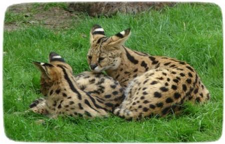 Large Cat Breeds Savannah