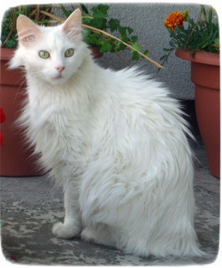 Large Cat Breeds With Pictures