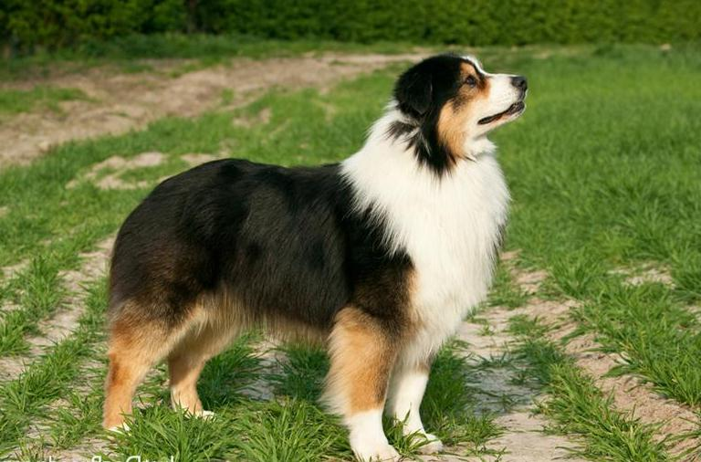 Large Dog Breeds Australia