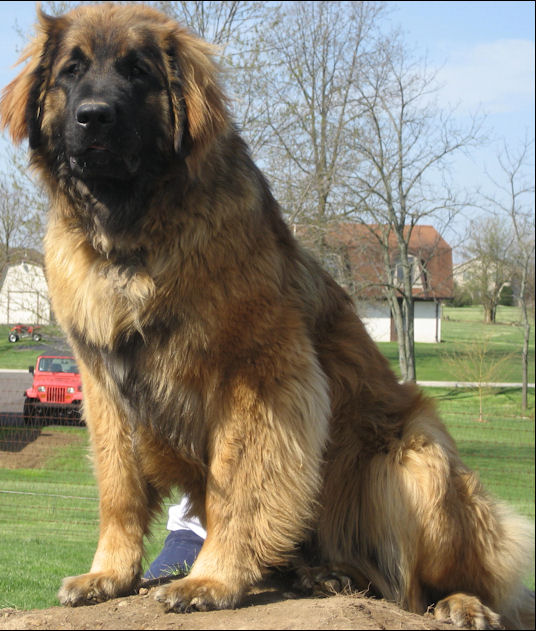 Large Dog Breeds Leonberger