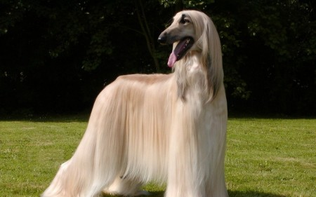 Large Dog Breeds Long Hair