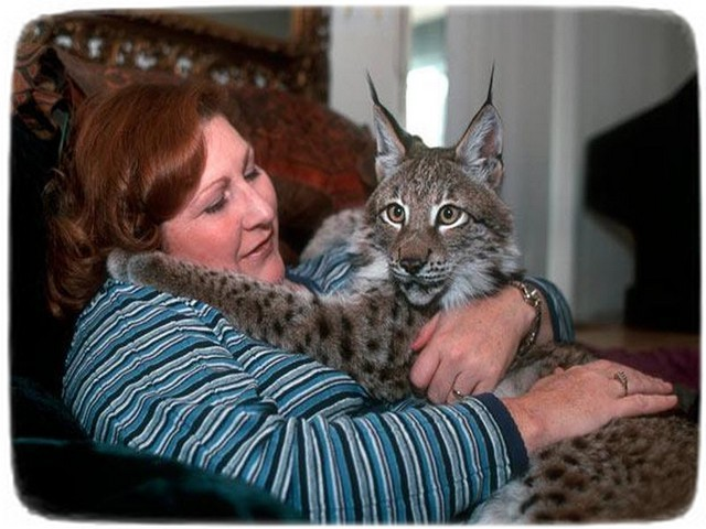 Large Domestic Cat Breeds As Pets