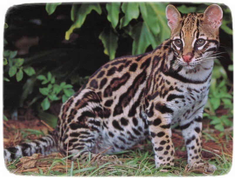 Large Domestic Cat Breeds List