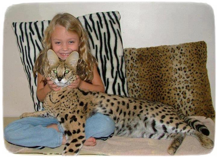 Large Domestic Cat Breeds Savannah