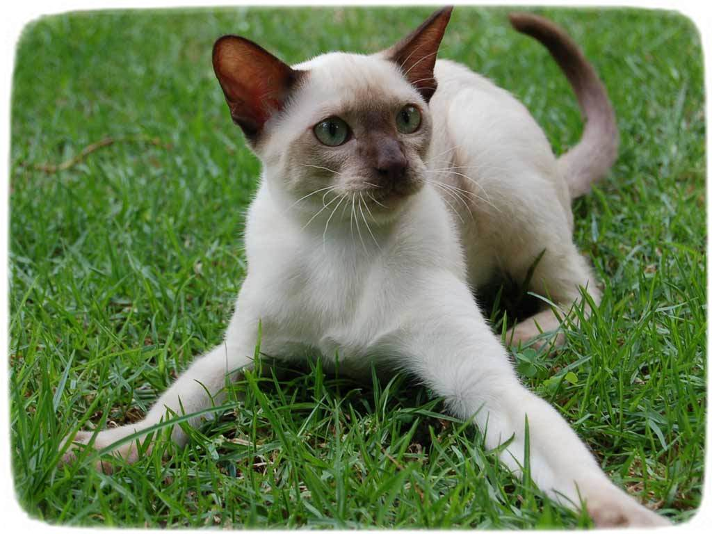 Large Domestic Cat Breeds Short Hair