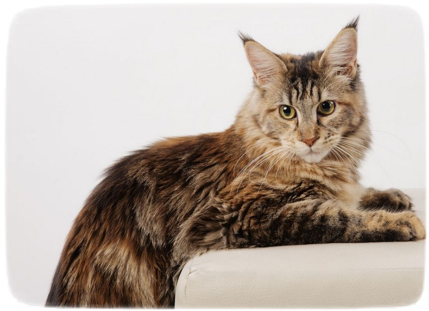 Large Domestic Cat Breeds Siberian