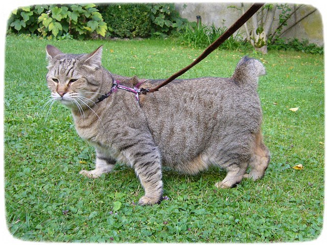 Large Domestic Cat Breeds Usa
