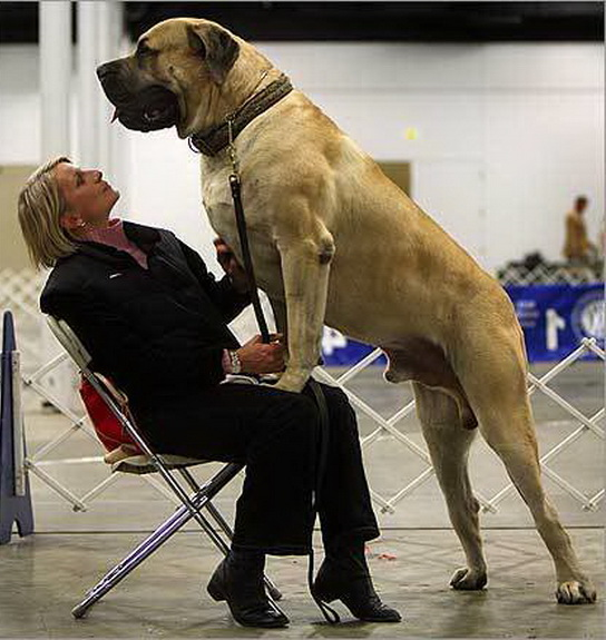 Largest Breed Of Dog In The World