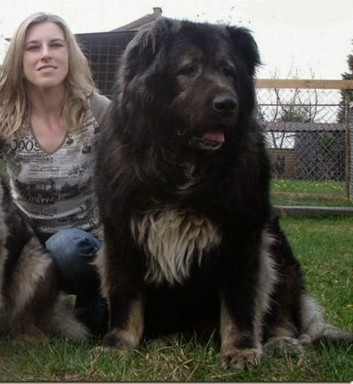 Largest Dog Breed Ever