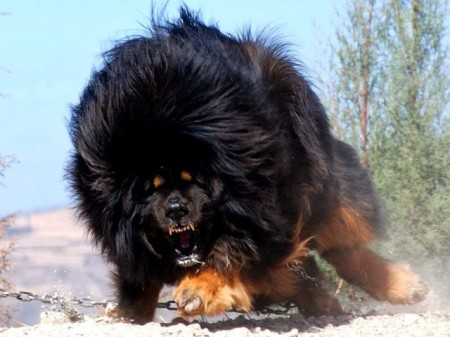 Largest Dog Breed In The World 2012