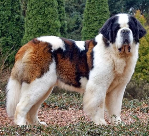 Largest Dog Breed Pictures