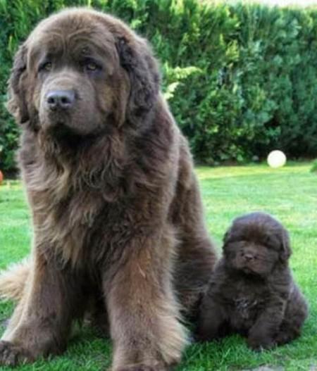 Largest Dog Breeds Ever
