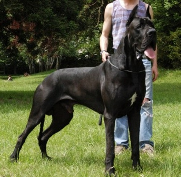 Largest Dog Breeds In The World 2013