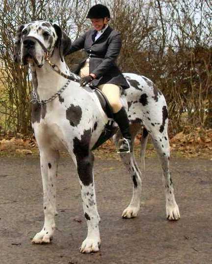 Largest Dog Breeds Top 10