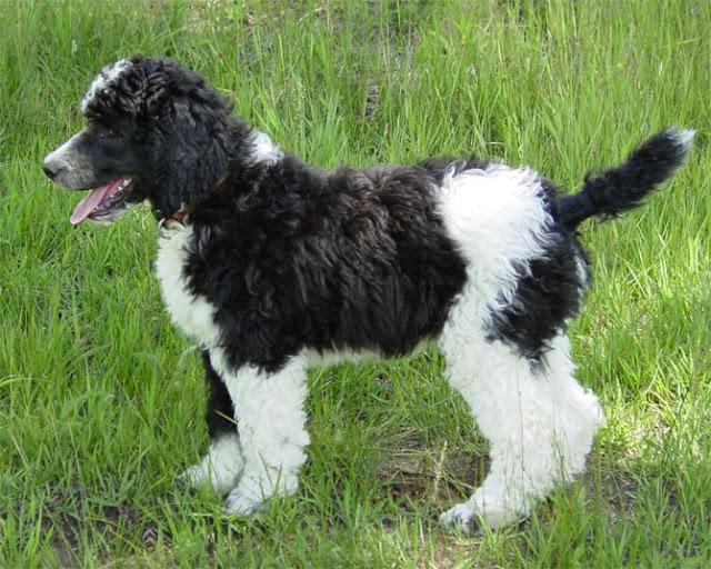 Largest Dog Breeds Top 20