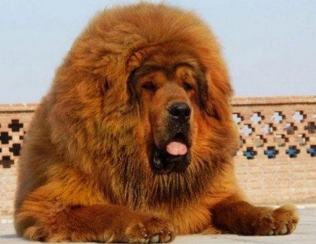 Largest Dog Breeds With Pictures