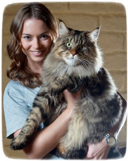 Largest Domestic Cat Breed Australia