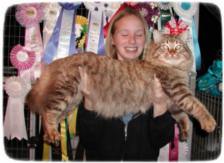 Largest Domestic Cat Breed In The World