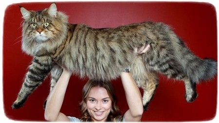 Largest Domestic Cat Breed Uk