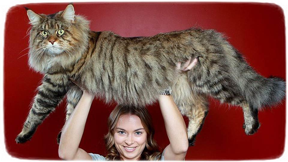 Largest Domestic Cat Breed Uk