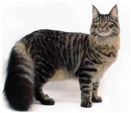 Largest Domestic Cat Breeds