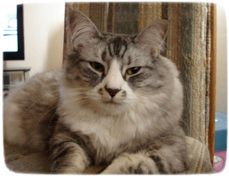 Largest Domestic Cat Breeds List