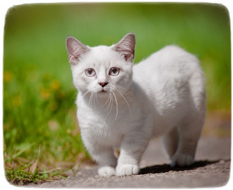 List Of Cat Breeds Uk