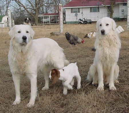 Livestock Guard Dog Breeds