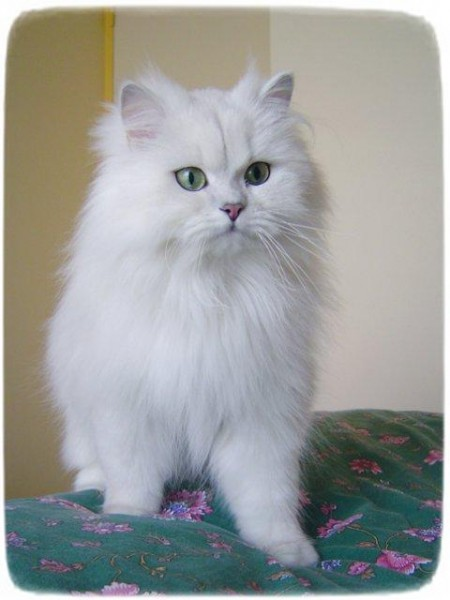 Long Haired Cats And Shedding