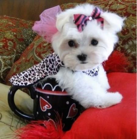 Maltese Dog For Adoption
