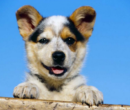 Medium Sized Dog Breeds In Australia