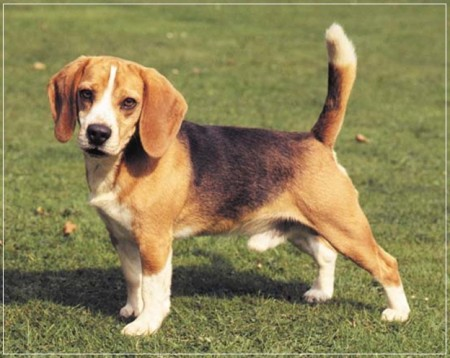 Medium Sized Dogs Short Hair