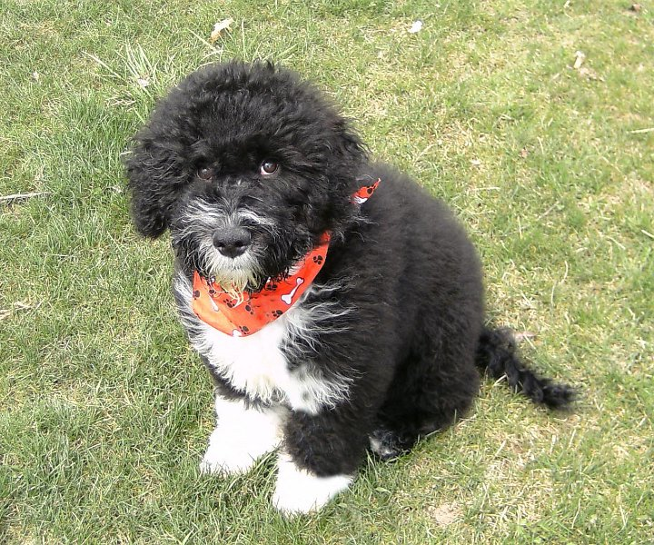 Mini Portuguese Water Dog Breeders