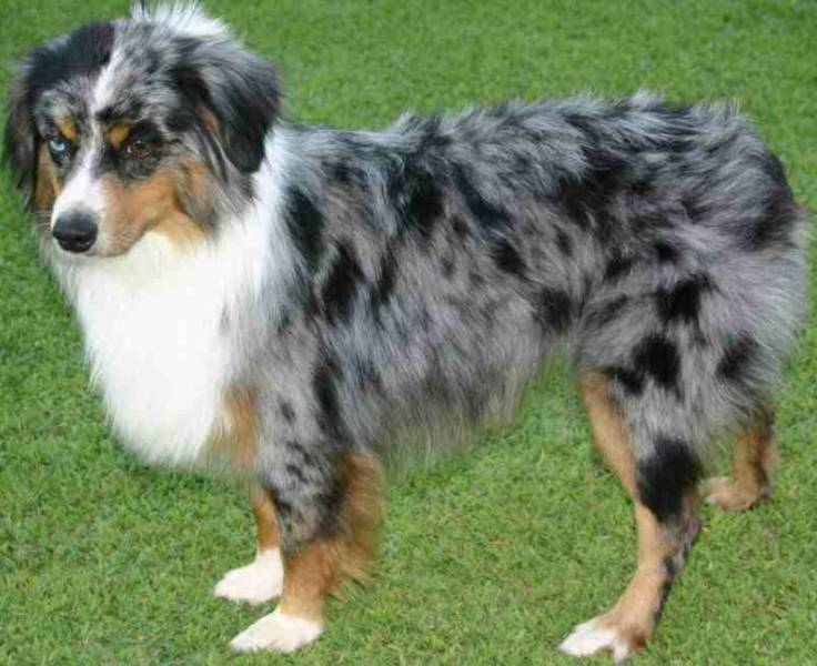 Miniature Dog Breeds In Australian