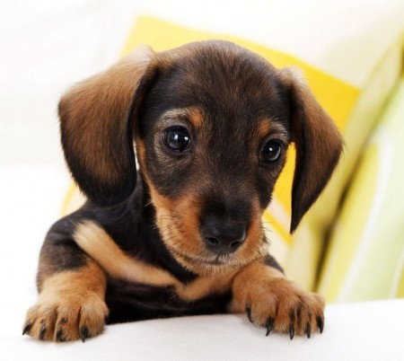 Miniature Dog Breeds List