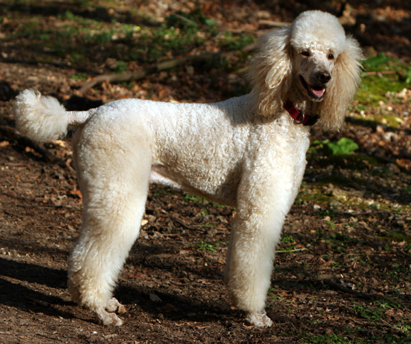 Miniature Dog Breeds That Don't Shed