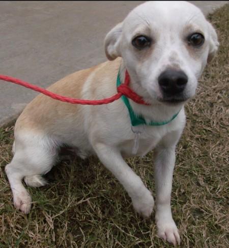 Mixed Dog Breeds Chihuahua
