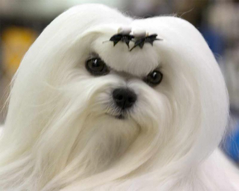 Most Expensive Dog Breeds 2012