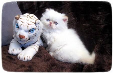 Munchkin Cats For Adoption