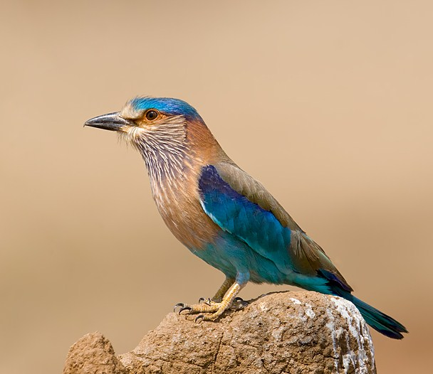 Names Of Birds In Sanskrit With Pictures