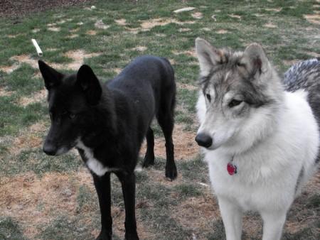 Native American Indian Dog Black