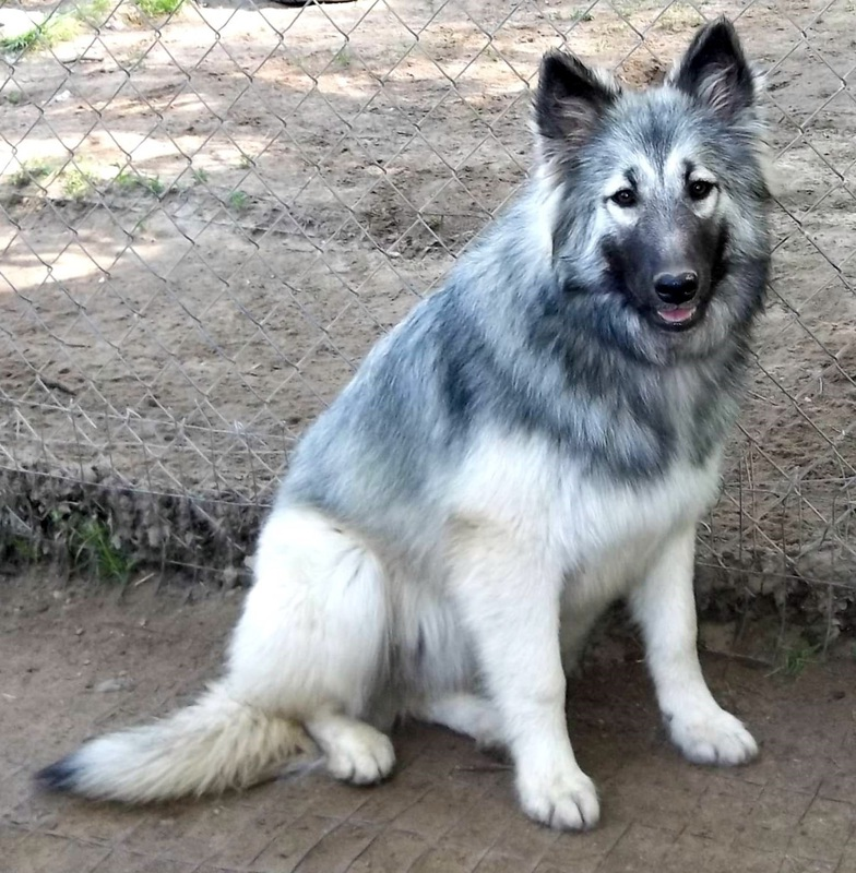 Native American Indian Dog Hypoallergenic